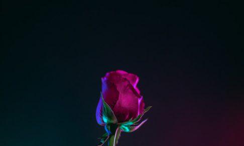 red rose flower photo in dark surface